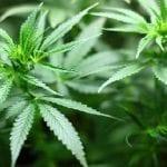 Insolite : il fait pousser du cannabis à 76 ans dans son jardin