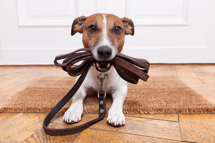 Chien - Animal de compagnie - Jack Russel - Maison - Bien chez soi
