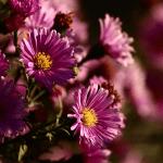 Pour la Journée internationale des personnes âgées, les petits frères des Pauvres offrent des fleurs