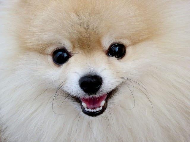 Chien - Animal de compagnie