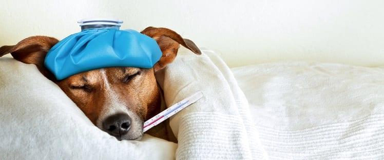 Grippe - Maladie - Chien malade